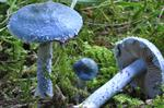 Blue Roundhead (Stropharia caerulea)